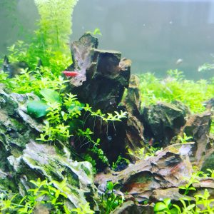 planted tank with shrimp