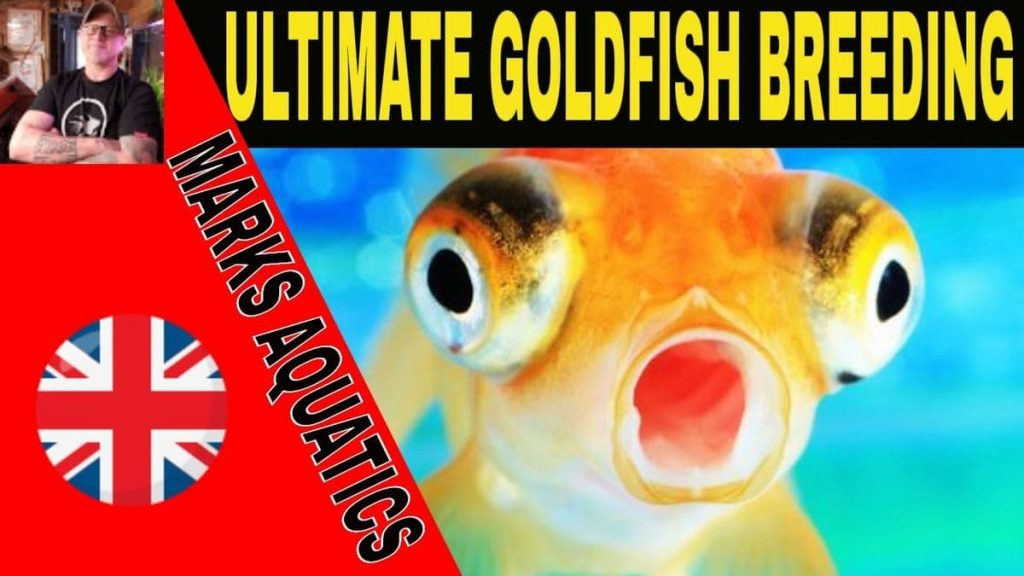 breedinggoldfish