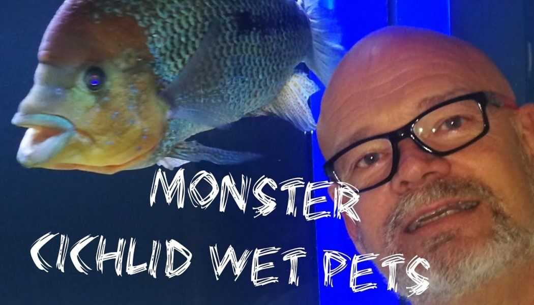 Feeding Monster Cichlids