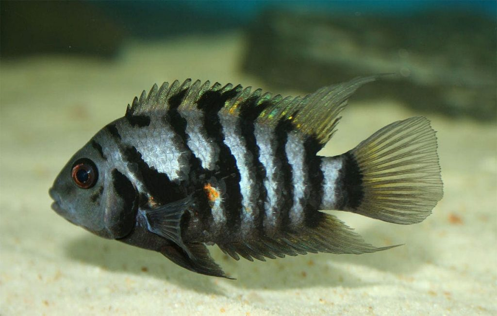 convict cichlid best beginner cichlid