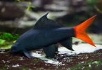 Red tailed Black Shark red tail black shark