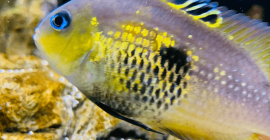 Cryptoheros Myrnae – The Topaz Cichlid – An endangered Cichlid